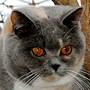 Czankra*PL Hodowla Kotów Brytyjskich - BACHUS