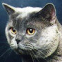 Czankra*PL Hodowla Kotów Brytyjskich - NATASHA OF ALAMANON*RU