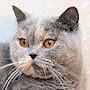 Czankra*PL Hodowla Kotów Brytyjskich - LAYLA
