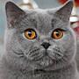 Czankra*PL Hodowla Kotów Brytyjskich - INNER