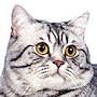 Czankra*PL Hodowla Kotów Brytyjskich - UMA