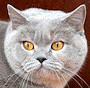 Czankra*PL Hodowla Kotów Brytyjskich - KIMMIE-LOU