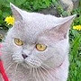 Czankra*PL Hodowla Kotów Brytyjskich - Mamma Mia