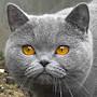 Czankra*PL Hodowla Kotów Brytyjskich - IVY