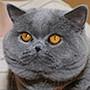 Czankra*PL Hodowla Kotów Brytyjskich - Anabella