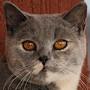 Czankra*PL Hodowla Kotów Brytyjskich - MAXIMILIAN