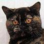 Czankra*PL Hodowla Kotów Brytyjskich - X FACTOR OF CZANKRA*PL