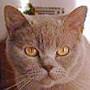 Czankra*PL Hodowla Kotów Brytyjskich - MARY LOU Tycat*PL