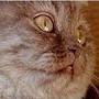 Czankra*PL Hodowla Kotów Brytyjskich - Denver Honorable*CZ