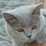 Czankra*PL Hodowla Kotów Brytyjskich - UNITY OF CZANKRA