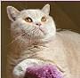 Czankra*PL Hodowla Kotów Brytyjskich - NIKITA of CZANKRA