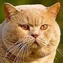 Czankra*PL Hodowla Kotów Brytyjskich - RAKIJA
