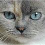 Czankra*PL Hodowla Kotów Brytyjskich - Good Omen of Czankra*PL