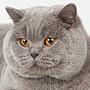 Czankra*PL Hodowla Kotów Brytyjskich - KARA