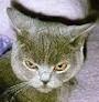 Czankra*PL Hodowla Kotów Brytyjskich - Cin Cin Graham*PL