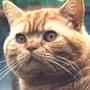 Czankra*PL Hodowla Kotów Brytyjskich - Gerda Mruczysko*PL