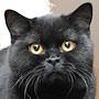 Czankra*PL Hodowla Kotów Brytyjskich - NANNE of CZANKRA