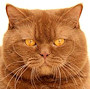 Czankra*PL Hodowla Kotów Brytyjskich - ROSEBUD