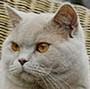 Czankra*PL Hodowla Kotów Brytyjskich - PEPINO