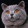 Czankra*PL Hodowla Kotów Brytyjskich - Issaya