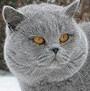 Czankra*PL Hodowla Kotów Brytyjskich - NIKITA
