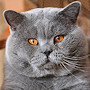Czankra*PL Hodowla Kotów Brytyjskich - ERICA