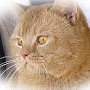 Czankra*PL Hodowla Kotów Brytyjskich - PETITE FLEUR OF CZANKRA*PL
