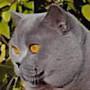 Czankra*PL Hodowla Kotów Brytyjskich - Las Vegas Honorable*CZ