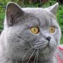 Czankra*PL Hodowla Kotów Brytyjskich - FINLANDIA