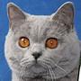 Czankra*PL Hodowla Kotów Brytyjskich - JINX